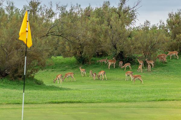 Italien Venetien Albarella Albarella Golf Links Damhirsche